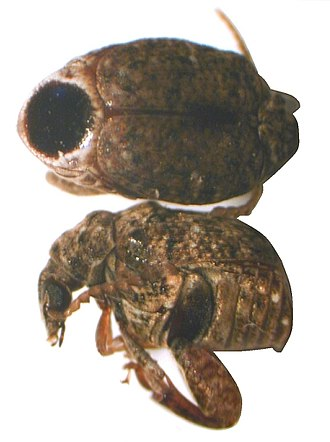 Arthropod leg - Bruchid with powerful femora used for escape from hard-shelled seed.