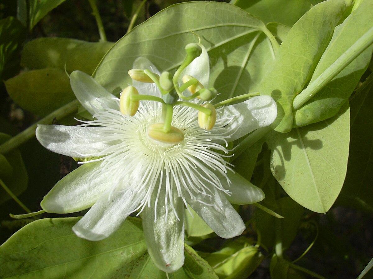 Passiflora subpeltata - Wikipedia, la enciclopedia libre