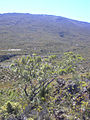 Starr 040214-0123 Sophora chrysophylla.jpg
