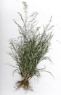 Starr 040408-9001 Eragrostis pectinacea