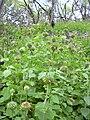 Starr 040410-0315 Leonotis nepetifolia.jpg