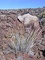 Starr 040813-0108 Agrostis sandwicensis.jpg