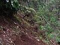 Starr 050125-3185 Cibotium glaucum.jpg