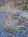 Starr 051202-5592 Plantago lanceolata.jpg