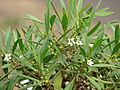 Starr 060928-0397 Myoporum sandwicense.jpg