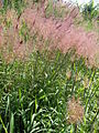 Starr 061128-1673 Melinis minutiflora.jpg