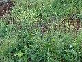 Starr 070302-5037 Brassica nigra.jpg