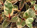 Starr 080117-1722 Ficus elastica.jpg