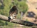 Steppe Eagle (Aquila nipalensis) (27812388459).jpg