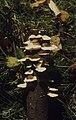 Stereum hirsutum. Ventral on stick. Cefn On. October 1971 (30985891976).jpg