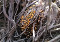 Stilbella fimetaria (Pers.) Lindau 407477.jpg