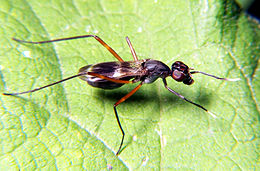 Stilt-legged fly 1.jpg