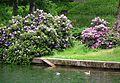 Stockenten Schlosspark Fulda Juni 2012.JPG