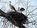 Storks couple. (5568878327).jpg
