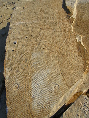 Lagerstätte - Image: Stranded scyphozoans with Climactichnites trackways Blackberry Hill, WI Cambrian