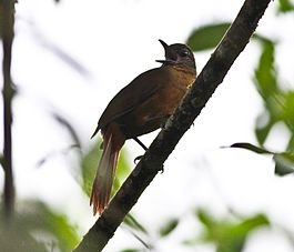 Streak-capped Treehunter (Thripadectes virgaticeps) (8079775965).jpg