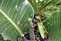 Strelitzia reginae 24zz.jpg
