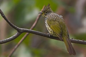 Striated bulbul - Species from Khangchendzonga National Park, India
