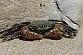 Striped Shore crab - Pachygrapsus crassipes (41786401275).jpg