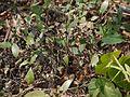 Strobilanthes ciliatus Nees (6927768089).jpg