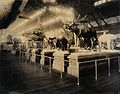 Stuffed animals at the 1904 World's Fair, St. Louis, Missouri Wellcome V0038343.jpg