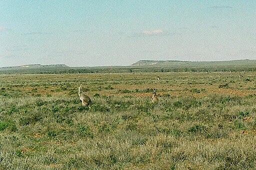 Sturt National Park5 with Western Grey Kangaroos