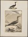 Sula bassana - 1700-1880 - Print - Iconographia Zoologica - Special Collections University of Amsterdam - UBA01 IZ18000049.tif