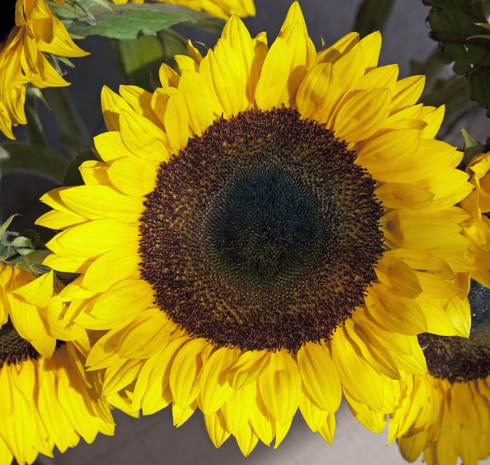 Sunflower 1 (3889973450)
