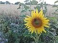 Sunflower Dortmund 1.jpg