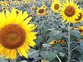 Sunflowers Farming In Nepal.jpg