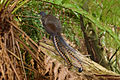 Superb lyrbird and ferntrees.jpg
