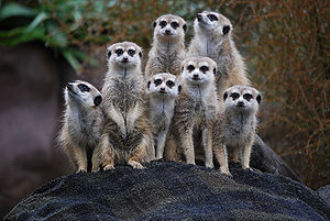 A group of Meerkats at Auckland Zoo, New Zealand.