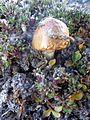 Svalbard Mushroom 1.JPG