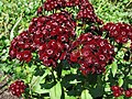 Sweet William Dianthus barbatus 'Heart Attack' Flowers 2816px.jpg