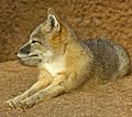 Swift Fox Oklahoma-City-Zoo.jpg