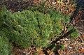 Swiss Mountain Pine Pinus mugo 'Prostrata' Foliage.JPG