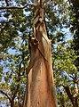 Sydney Blue Gum (E.saligna) - bark shedding.jpg