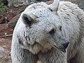 Syrian brown bear 08.jpg