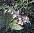 Syzygium Munronii 04.JPG