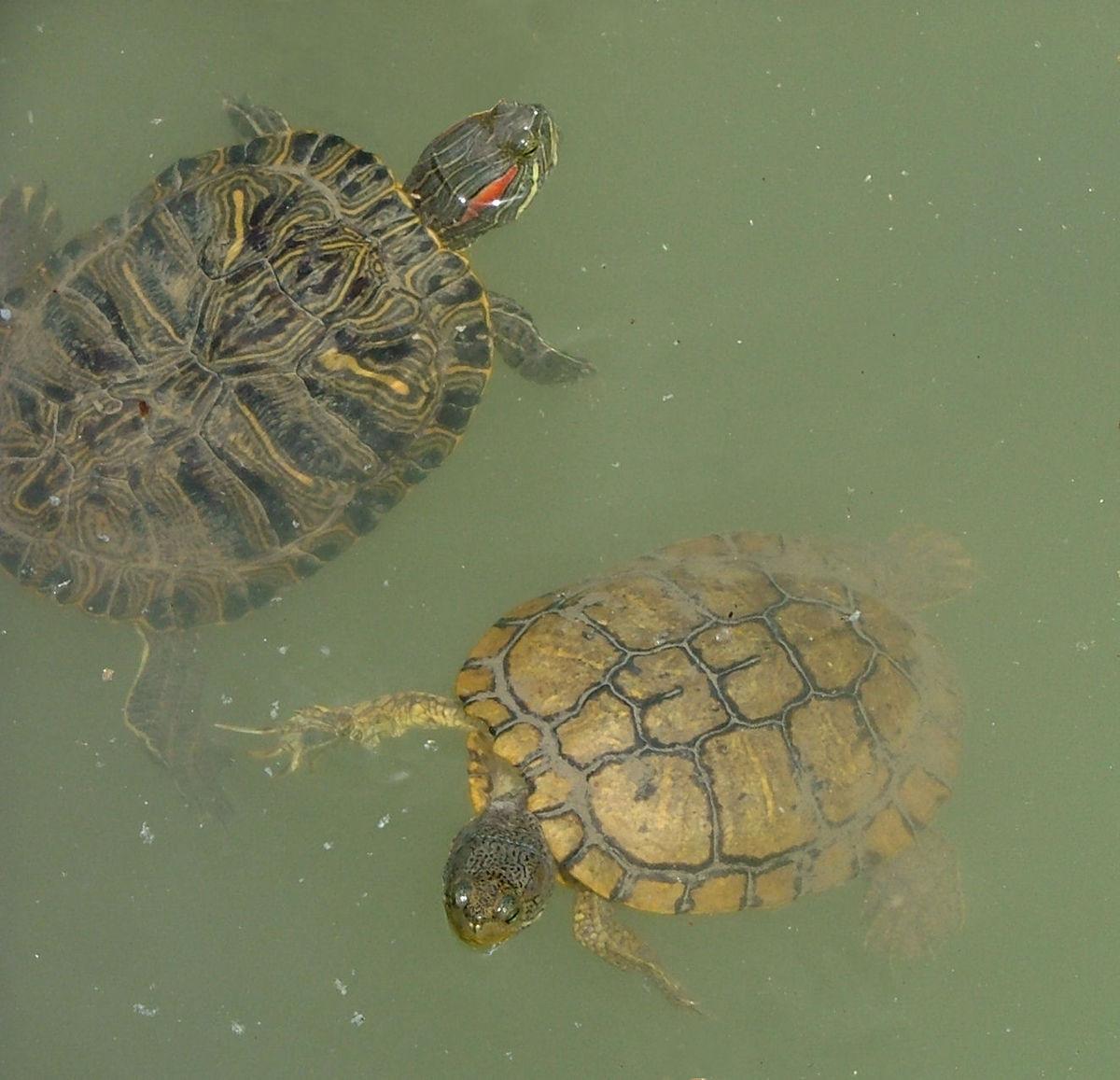 Trachemys wikipedia for Lago tartarughe