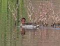 TEAL, GREEN-WINGED (11-1-10) patagonia lake, scc, az -01 (5241773960).jpg
