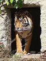 TIger at Auckland Zoo - Flickr - 111 Emergency.jpg