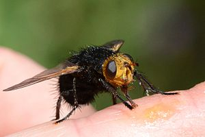 Tachina grossa jd Charente.jpg