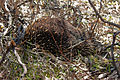 Tachyglossus aculeatus (Short-beaked Echidna), Moora Track, Grampians National Park, Victoria Australia (5044242464).jpg