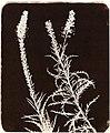 Talbot, William Henry Fox - Studie von Pflanzen (3) (Zeno Fotografie).jpg