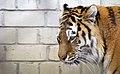 Tallinna loomaaia amuuri tiiger, HolgerVaga.jpg