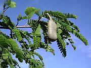 Tamarindus leaves and pod