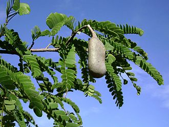 Tamarind - Tamarindus leaves and fruit pod
