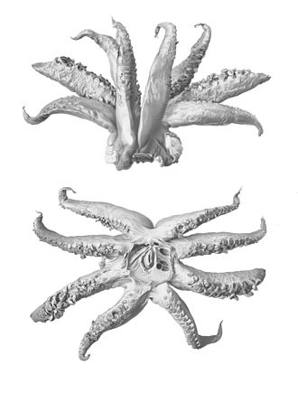 Cephalopod limb - Arms and buccal mass of the squid Taningia danae. As in other Octopoteuthidae, the tentacles are absent in adults.