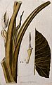 Tannia (Xanthosoma sagittifolium) Wellcome V0042902.jpg